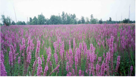 the problem with purple loosestrife Purple loosestrife the problem with growing square-stemmed purple loosestrife in a garden setting is that the flower spikes are far too generous with their seeds.